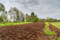 Planting of maize